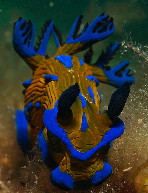 Nudibranch Creatures of the Sea Pinterest