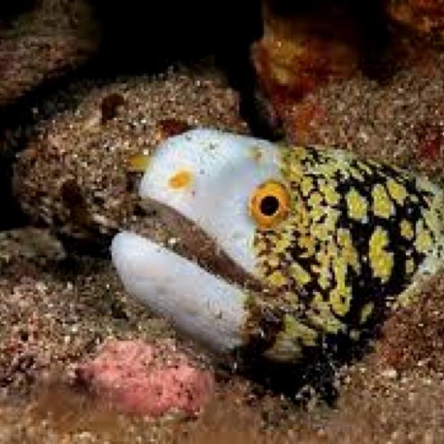 Snowflake Eel Saltwater fish Pinterest