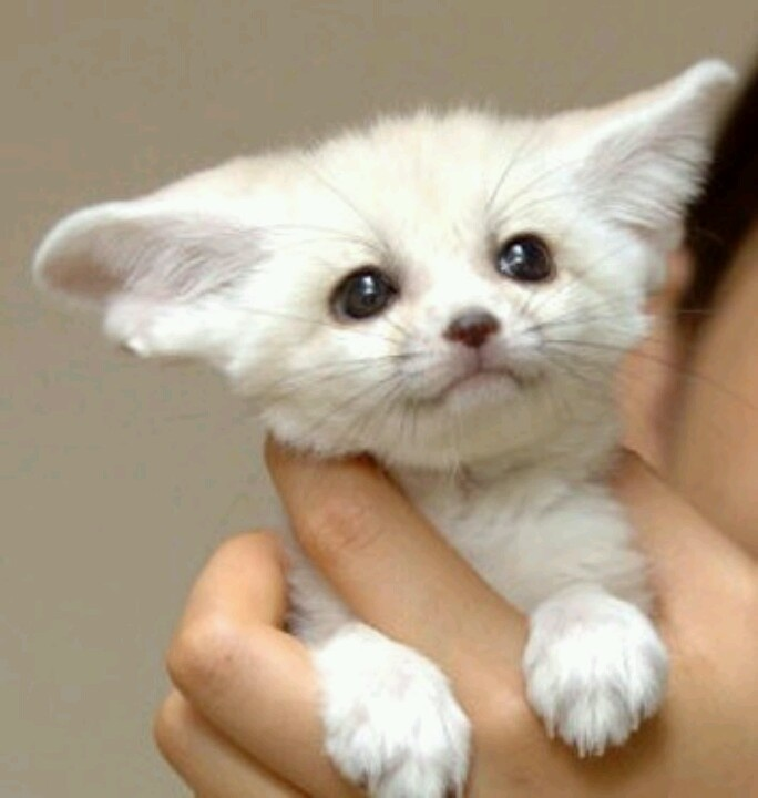 Baby fennec fox aminals pinterest