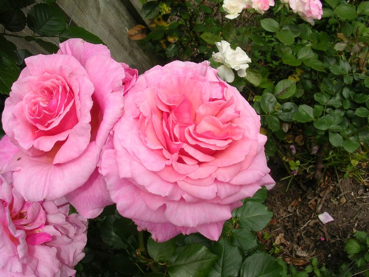 climbing rose aloha flowers in our garden plus a few pinned from. Black Bedroom Furniture Sets. Home Design Ideas