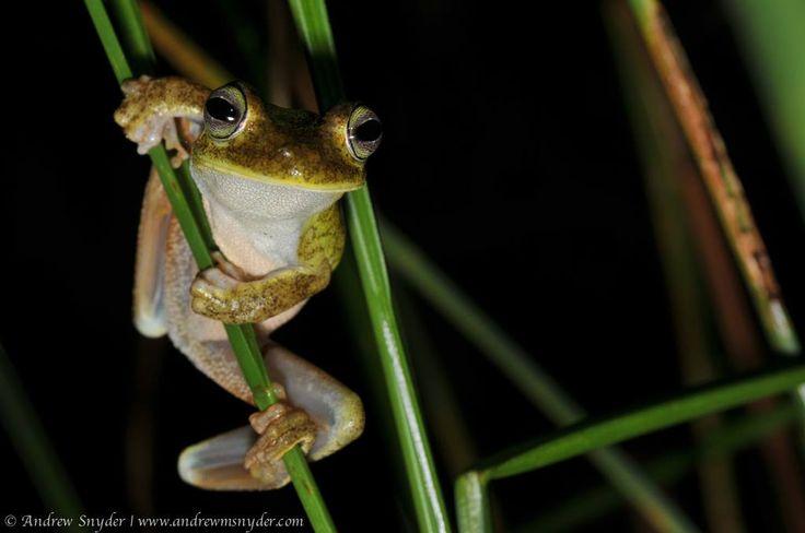 Emerald-eyed tree frog