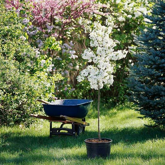 Perfect Backyard Tree : front yards