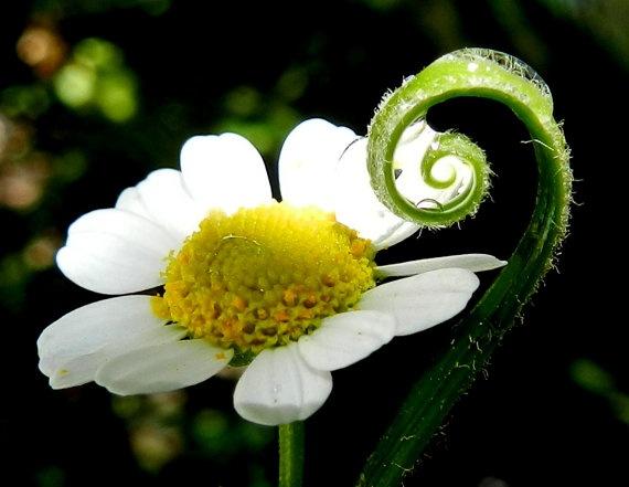 Daisys Companion / Macro Photography by breathofanangel on Etsy, $15.00