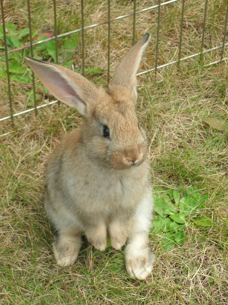 F Giant Rabbit Flemish Giant Rabbit B...