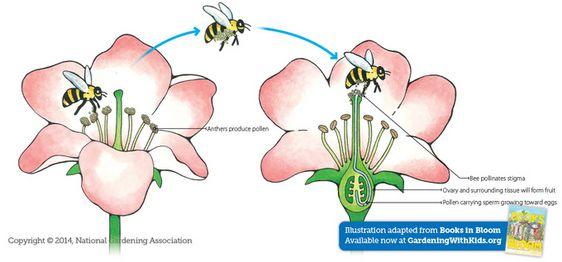 All Worksheets Pollination For Kids Worksheets Free Printable – Pollination Worksheet