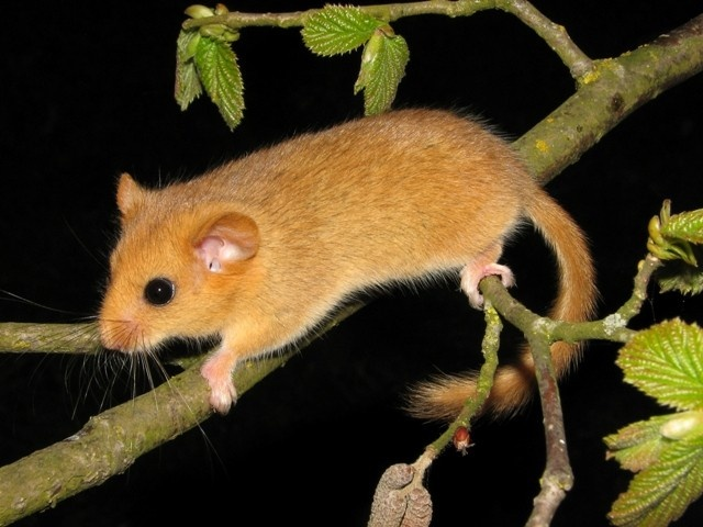 When to have kids: a complex question for Hazel dormice #animal
