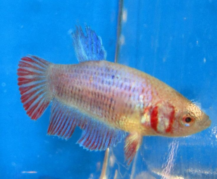 Female betta live freshwater fish 2 for Freshwater fish online