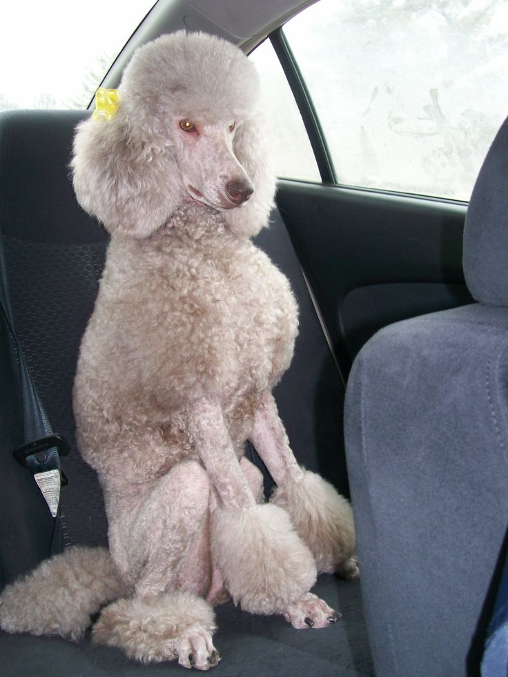 Silver Beige Standard Poodle | love poodles sooooo cute ...