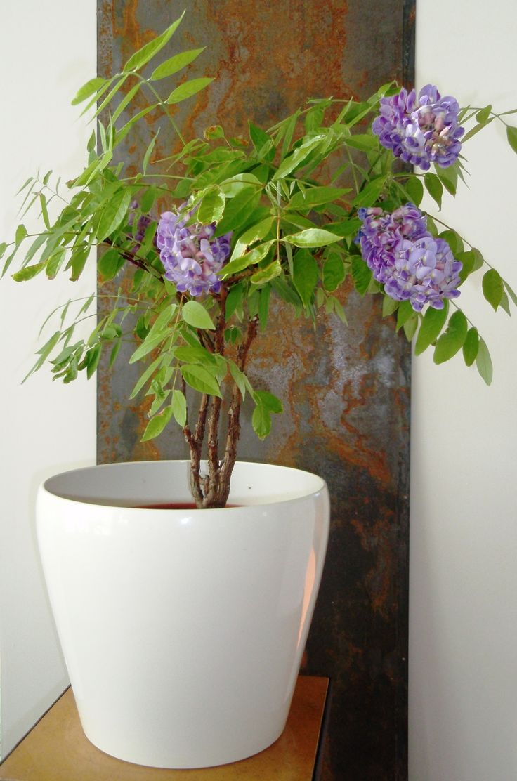 wisteria frutescens in a pot for the home