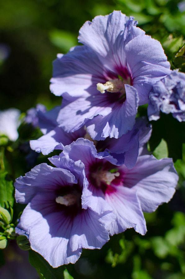 Purple Hibiscus Backyard Snob : Purple Hibiscus