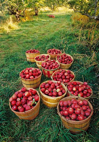 Old-fashioned apple orchard harvest (Jonathan and Delicious). You can see another cluster of bushel baskets in the distance. #gardening #garden #apple
