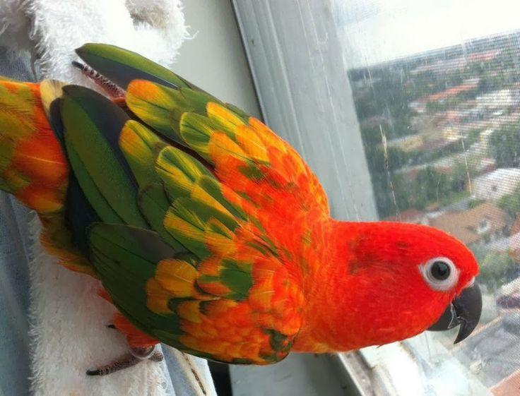 Sun conure red factor sun conure parrots psittaciformes pinte