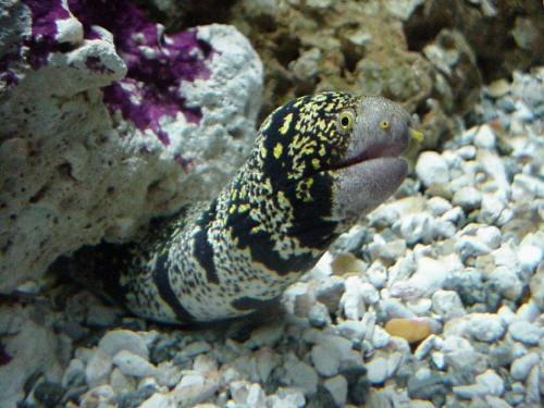 Snowflake Moray Eel OceanLife Pinterest