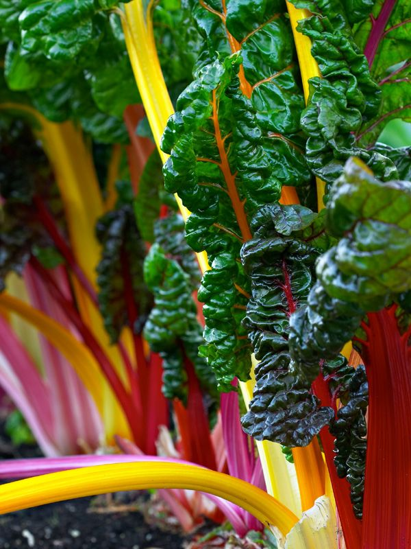 Swiss chard is a striking ornamental, edible (new leaves are a great ...