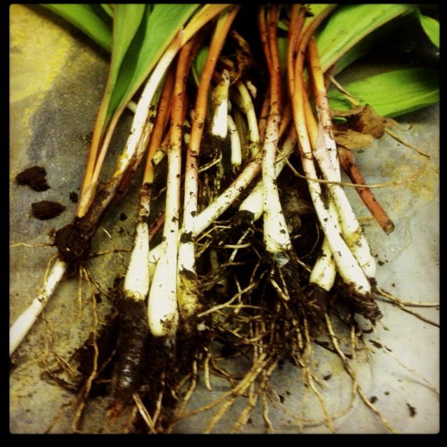 Wild Leeks | Wild Food | Pinterest