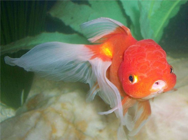 White oranda goldfish - photo#6