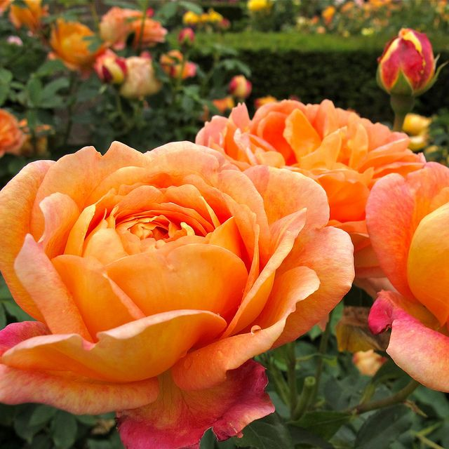 lady of shalott rose - photo #3