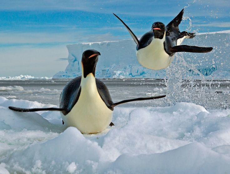 Pingvini 9083db178343ab43ce272662c4ec264d