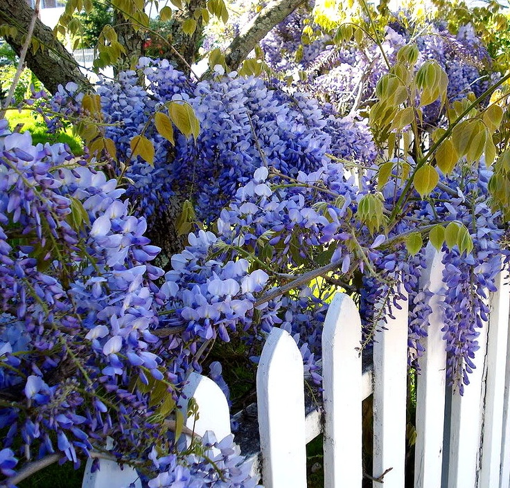 White picket fence with wisteria growing along it .... paradise!