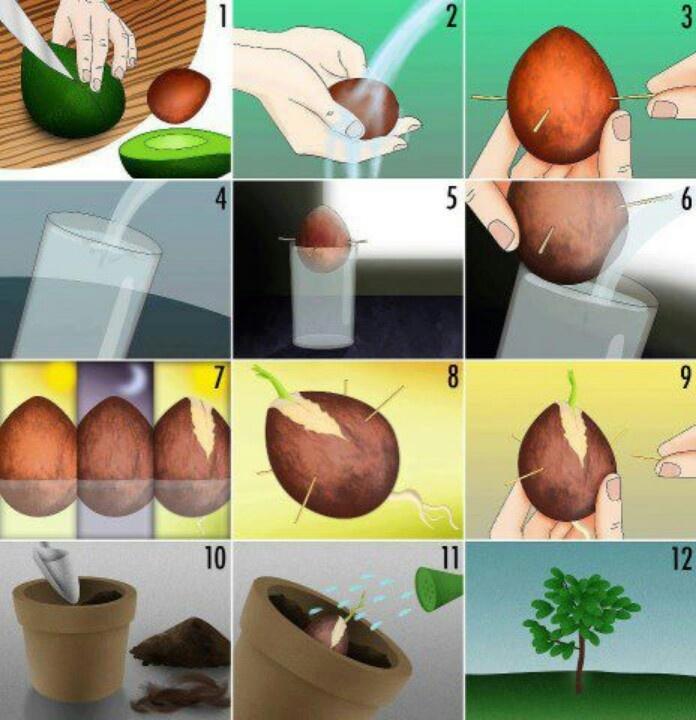 grow avocado how to grown plants pinterest. Black Bedroom Furniture Sets. Home Design Ideas