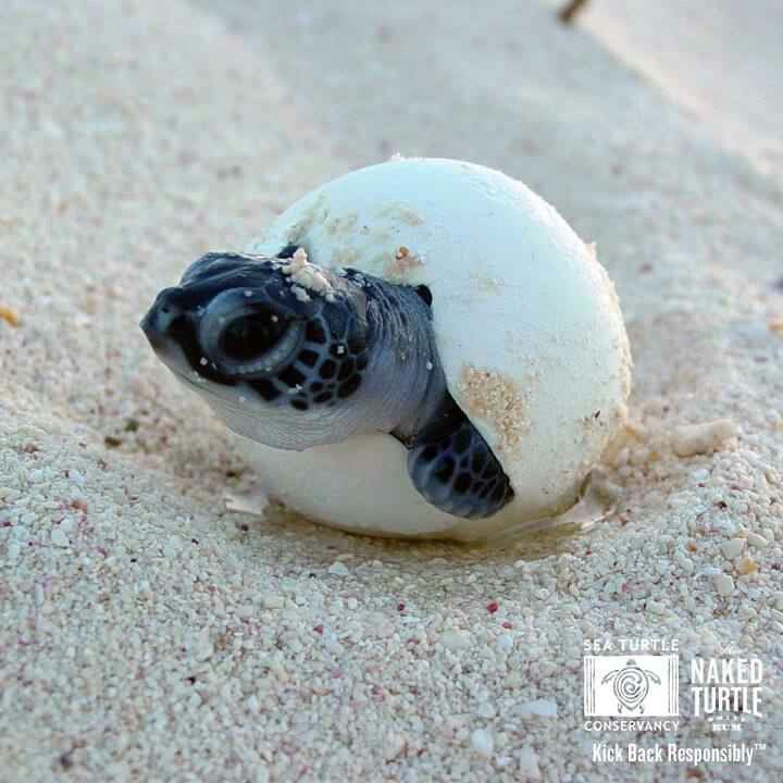 Cute baby sea turtles in the water - photo#9