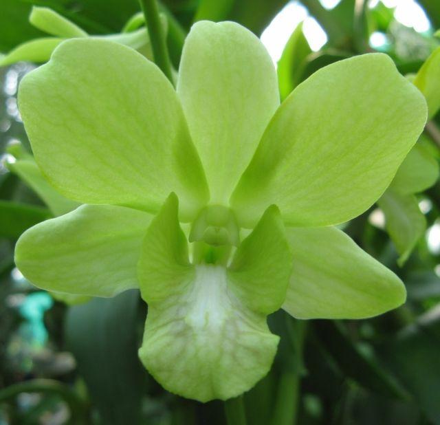 Green orchid   Green...   Pinterest