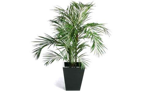 Areca palm pets safe houseplants clean air and cats for Areca palm safe for cats