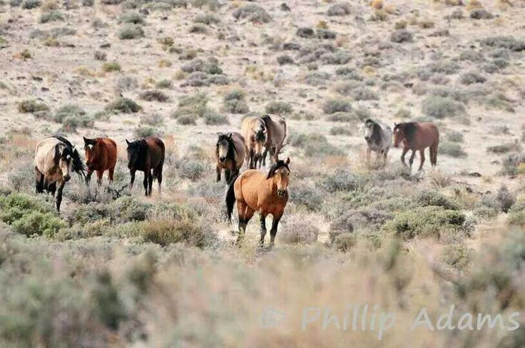 Nevada Wild Horses Horse Pictures Pinterest