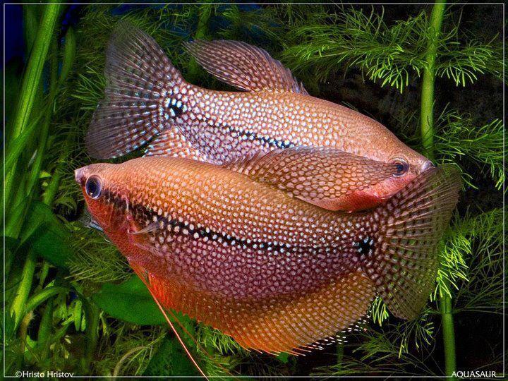 Pearl gouramis Aquaria Pinterest