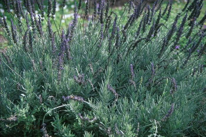 Plant photo of lavandula goodwin creek gray
