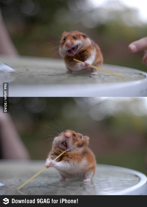 "Hampster using Spaghetti as ""toothpick""?!"