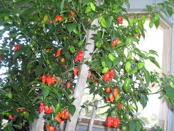Buy ghost pepper online - Planting pepper garden ...