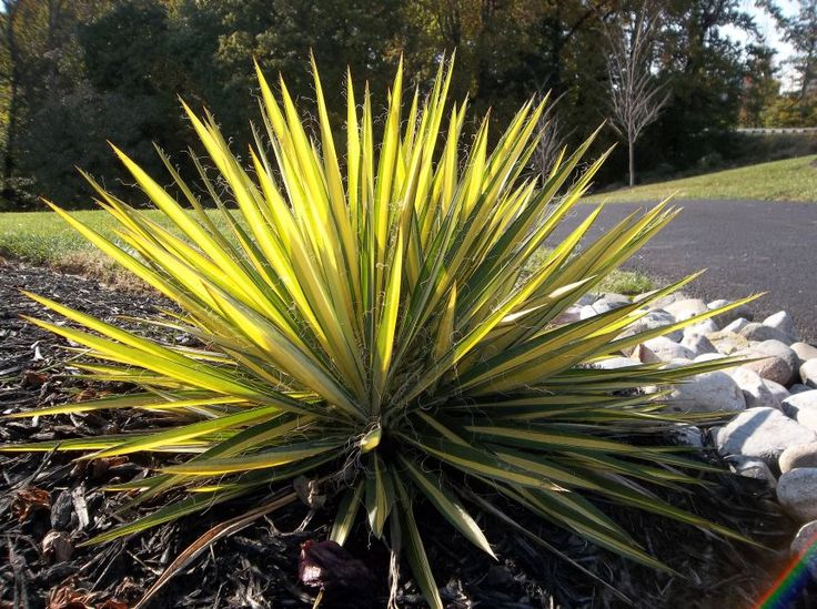 yucca filamentosa 39 color guard 39 southwest style garden. Black Bedroom Furniture Sets. Home Design Ideas