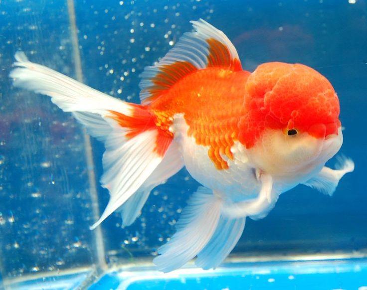 Oranda Goldfish n tanks Pinterest