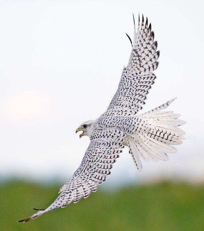 White Gyrfalcon | Bedazzling birds | Pinterest