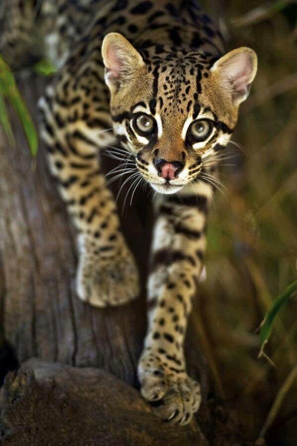 Wild ocelot kittens - photo#3