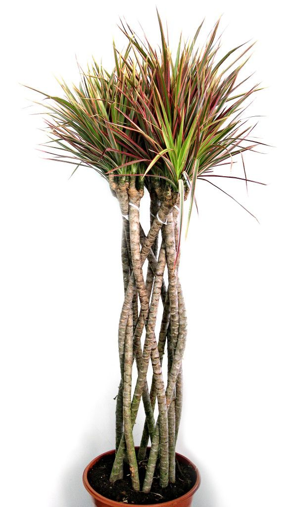 dracaena marginata 39 colorama 39 chic houseplants pinterest. Black Bedroom Furniture Sets. Home Design Ideas