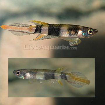 Clown Killifish liveaquaria.com Fish tanks Pinterest