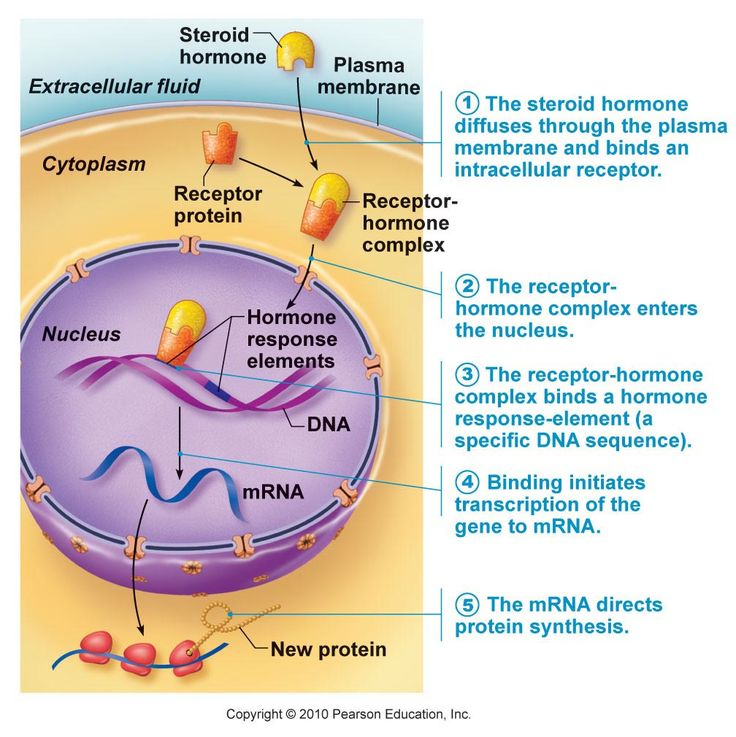 steroid hormones are synthesized in the