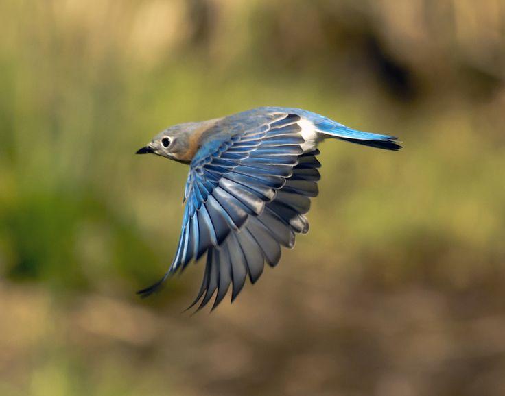 Eastern bluebird in flight - photo#10