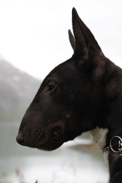 Perfect Bull Terrier pup.   English Bull Terriers   Pinterest