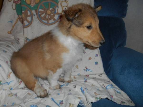Male Collie puppy---8 weeks old. First shots and worming done.