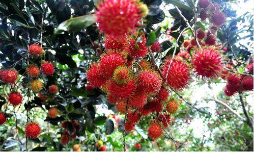 Vườn chôm chôm phú quốc