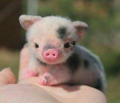 Cute black pigs