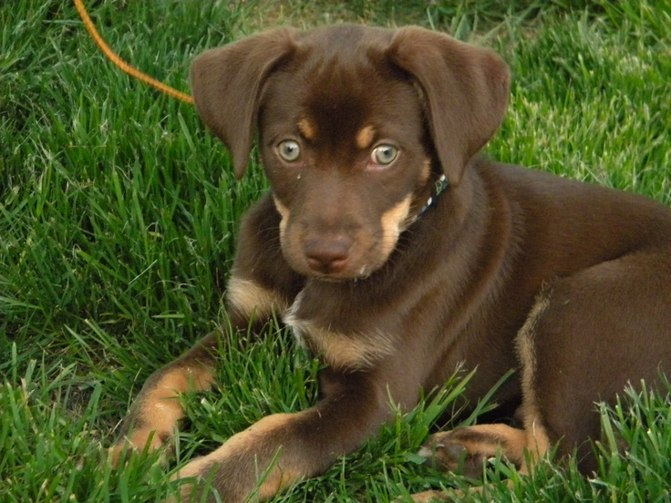 Our new dog - lab chihuahua mix =) | Animals | Pinterest