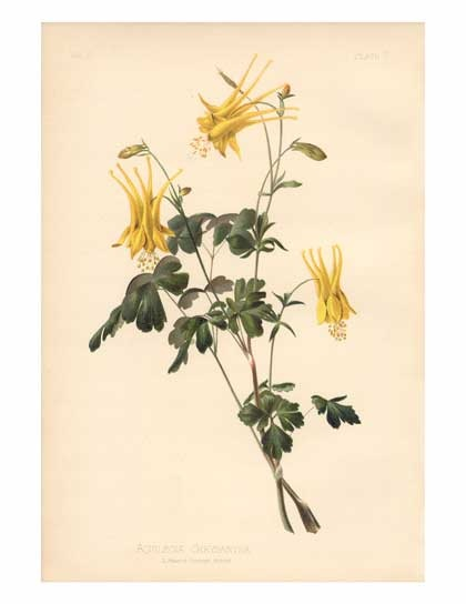 Aquilegia chrysantha  Golden Columbine  Range: Colorado and Utah south to Arizona and Texas