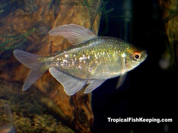 Diamond Tetra TIPS freshwater fish Pinterest