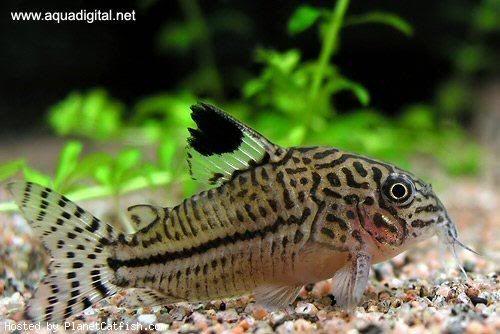 False Julii cory cat my aquarium + fav fish :) Pinterest