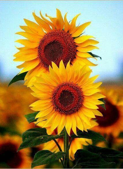 Sunflower mancini