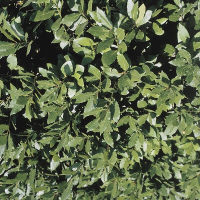 Close up of a bay laurel tree laurus nobilis - Cook bay leaves ...